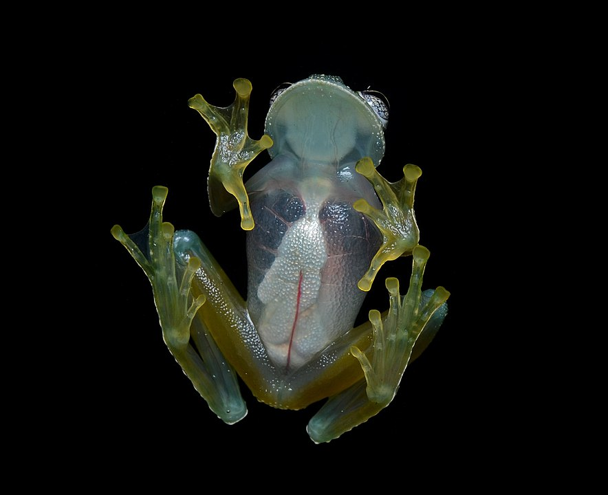 La di.verre.sité des animaux transparents