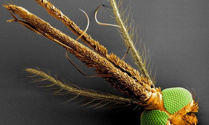 La piquouze du moustique